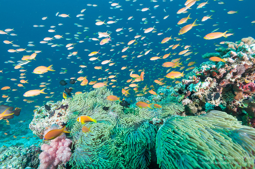 Guraidhoo Island, South Male Atoll, Maldives; an aggregation of Three-spot Dascyllus, Anthias fish and Blackfinned Anemonefish swimming over several large anemones on the coral reef