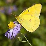 Orange sulpher butterfly.