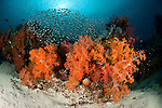 A school of glassy sweepers in gorgonian fans and soft corals in the reef.