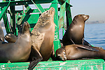 San Diego Bay, San Diego, California; a bull male California Sea Lion (Zalophus californianus)  and several females haul out of the water on a green channel marker buoy, with the downtown skyline in the background