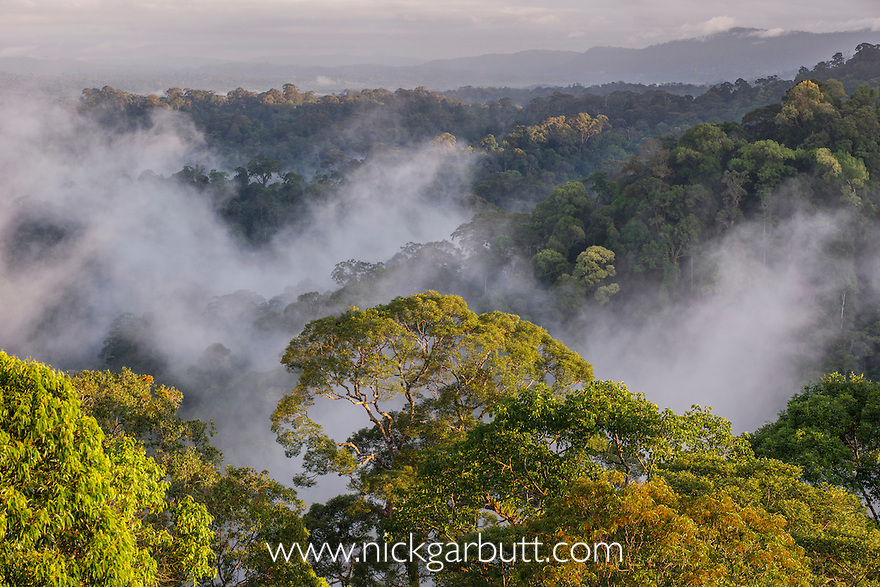 Early morning mist hanging over the rainforest canopy. Temburong National Park, Brunei, Borneo.