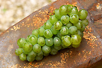 Harvested grapes. Sauvignon Blanc. Chateau de Tracy, Pouilly sur Loire, France