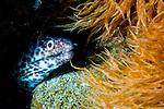 Spotted moray: Gymnothorax moringa, amongst orange sea weed
