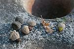 Acorns at Indian Grinding Rock SHP