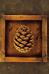 Close up from above of pine cone of Scots pine or Pinus sylvestris tree lying in shallow wooden tray on rusty metal sheet