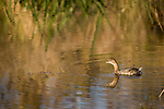 Columbia Ranch, Brazoria County, Damon, Texas; a Pied-billed Grebe (Podilymbus podiceps) bird floats on the slough in the Simkin property in late afternoon sunlight