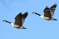 Courtesy photo/PHYLLIS KANE<br /> AIRBORNE BALLET<br /> Canada geese fly in formation in west Benton County. Phyllis Kane took the picture Feb. 17 near Gentry.