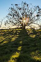 The sun rises behind a giant koa tree, casting shadows on green grass along Mana Road, Big Island.
