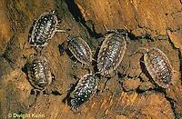 1Y16-034a  Sow Bug