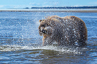 Alaskan brown bear shaking off water