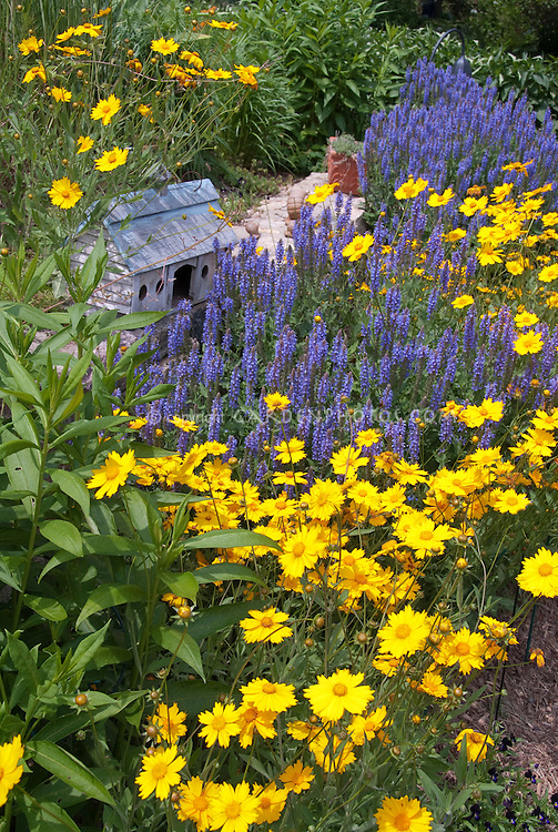 Coreopsis Sunshine Superman & Salvia Blue Hill with bird house in garden