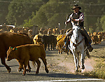 1Merced Falls Road near La Grange, California on May 09, 2008 .Cattle drive from  stone coral on Merced Falls road to Huglow Ranch on Penon Blanco road.  Erickson Cattle Company ..Photo by Al GOLUB/Golub Photography