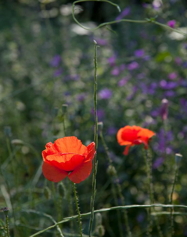 Poppies in Parco Pollino, Pollino Park, Basilicata, ITA