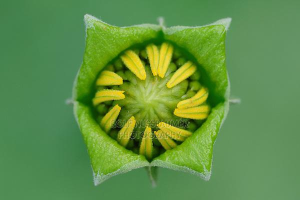 Crownbeard (Verbesina sp.), flower bud opening, Fennessey Ranch, Refugio, Coastal Bend, Texas, USA