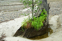A birch sapling grows out of an old tree trunk at Taisho-ike, Kamikochi, Nagano, Japan. Taisho-ike was formed when neighbouring Mount Yake erupted in 1915 flooding the forested valley and drowning the trees.