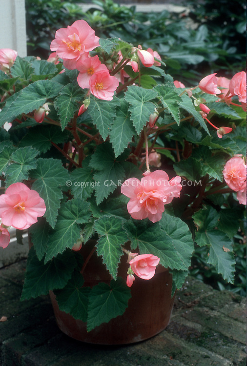 tuberous begonia pink flowers in planter plant flower stock photography gardenphotos