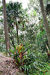 Elkhorn Fern and Palms, Strickland State Forest, NSW