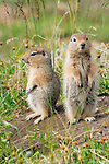 Arctic ground squirrels, Arctic National Wildlife Refuge, Alaska
