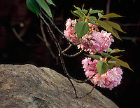 Cherry Blossoms, Brooklyn Botanic Garden, Brooklyn, New York, Japanese Hill and Pond Garden, Blossom Branch touching rock