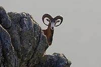 Mouflon, France