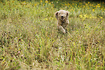 Fluffy mutt running through a field