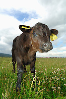 The robust Galloway is a small to medium sized hornless breed of cattle, this young animal with ear tags for identification.