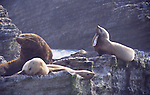 Steller sea lion with hook in mouth