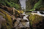 American Black Bear, Anan Creek, Tongass National Forest, Alaska, USA
