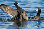 Two male american coots battle each other to win mating rights with a female.  The fight lasted several minutes, at times getting vicious as they gouged eatchother with their feet.