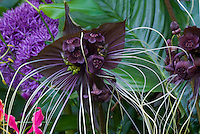 Black Flower Bat's Whiskers Tacca chantrieri in bloom Halloween