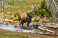 Buffalo near steam vent, Yellowstone National Park