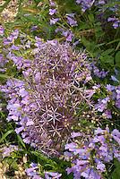 Allium christophii, Penstemon heterophyllus cv