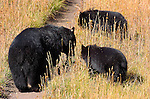 Black Bear and Cubs, Roosevelt Lodge, Yellowstone National Park, Wyoming