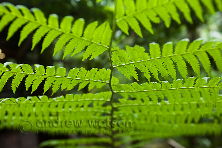 Close-up of rainforest fern.  Daintree National Park, Queensland, Australia