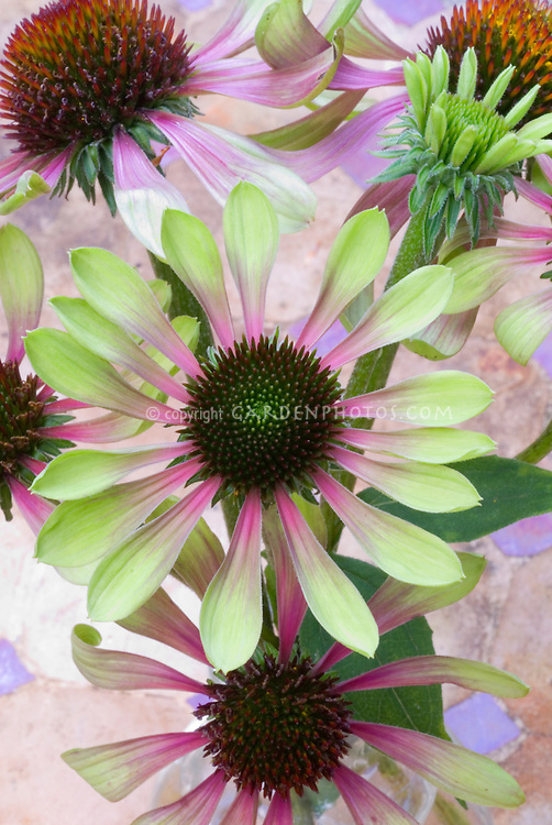 echinacea purpurata 39 green envy 39 green coneflower. Black Bedroom Furniture Sets. Home Design Ideas
