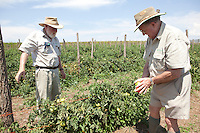 7-8 March 2011. Bergville and Winterton area, Commercial farmers from the No-Till Club. Anthony Muihead (70) has been practising Conservation Agriculture or No-till farming for 15-20 years. Tomatoes are grown on the farm along the same CA principles. Richard Findlay fron the No-Till club assists in some problem-solving.