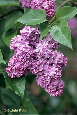 FB06-002d  Lilac - Antoine Buchner variety - Syringa vulgaris