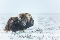 Bull muskox on the snowy tundra of the Arctic coastal plain, Alaska.