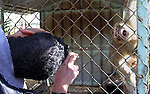 A Palestinian man looks to the Monkey at a zoo in Khan Younis in the southern Gaza Strip, on January 31, 2015. The deaths of dozens of kinds of animals and birds in the garden of South Forest due to the Israeli aggression and the inability of the owner to reach her and look after her over 51 days due to the Israeli bombardment of the surroundings and the flight of the animals died from hunger and lack of interest and the owner estimated losses of millions of dollars, and died about 25 class and type of birds and animals. Photo by Abed Rahim Khatib