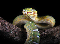 Emerald Tree Boa (Corallus caninus) native to Papua New Guinea, captive.