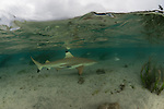 Blacktip reef shark (Carcharhinus melanopterus) patrolling in the shallows.