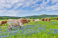 We capture these herd of longhorns cattle standing in some bluebonnets on a county road outside of Llano in the Hill Country.  We had a nice sky and some nice wildflowers in view to capture this landscape image.