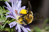 Long-horned Bee (Melissodes dentiventris) on Aster flower, Lexington Wildlife Management Area, Oklahoma, USA