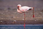 Lesser flamingo standing on one leg in the water, Kenya.