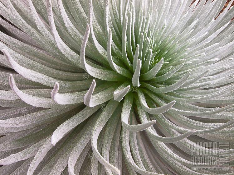 A close-up view of a silversword plant on the peak of Haleakala, Maui.