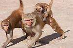 Aggressive Rhesus Macaques, Galta Monkey Temple, Jaipur