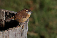 The Bewick's Wrens song is loud and melodious, much like the song of other wrens. It lives in thickets, brush piles and hedgerows, open woodlands and scrubby areas, often near streams. It eats insects and spiders, which it gleans from vegetation or finds on the ground.