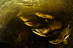 Pink Salmon (Oncorhynchus gorbuscha)migrating up river to spawn,  Great Bear Rainforest, British Colombia, Canada