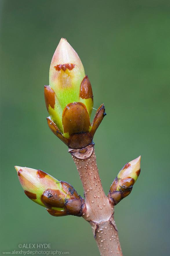 Horse Chestnut {Aesculus hippocastanum} bud. Peak District National Park, Derbyshire, UK. April.