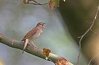 Nachtigall, singend, Luscinia megarhynchos, Nightingale, Rossignol philomèle